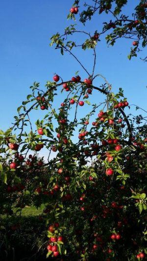 Äpfel überall